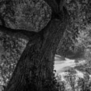 Crooked Oak Black And White Art Print
