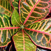 Croton - A Center View Art Print