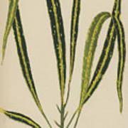 Croton Variegatum Angustifolium Art Print