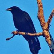 Crow In A Tree Art Print