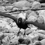 Crow Takes Off Art Print