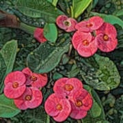 Crown Of Thorns Delight Art Print