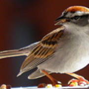 A Hungry Chipping Sparrow Art Print