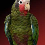 Cuban Amazon Parrot Art Print