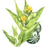 Cucurbita Foetidissima Art Print