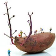 Cultivation On A Sweet Potato Art Print