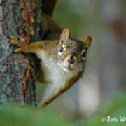 Curious Alaskan Red Squirrel Art Print