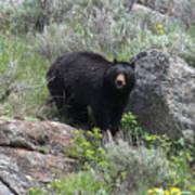 Curious Black Bear Art Print