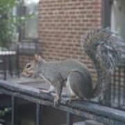 Curious Gray Squirrel  Art Print
