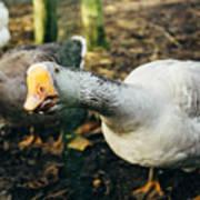 Curious Grey Goose Art Print