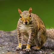 Curious Squirrel Art Print