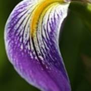 Curve Of An Iris Art Print