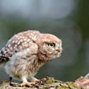 Cute Little Owlet Art Print