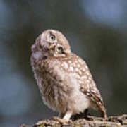 Cute, Moi? - Baby Little Owl Art Print