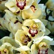 Cybidium Orchids Art Print