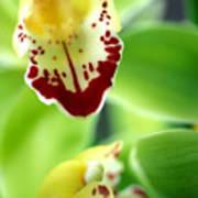 Cymbidium Seafoam Emerald Orchid Art Print by Kathy Yates