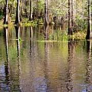 Cypress Trees Along The Hillsborough River Art Print