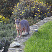 D-a0037 Gray Fox On Our Property Art Print