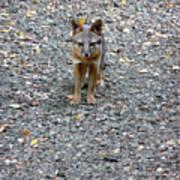D-a0051-dc Gray Fox Pup Art Print