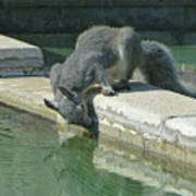 D2b6341-dc Gray Squirrel Drinking From The Pool Art Print