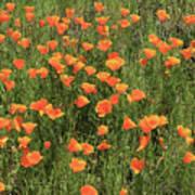 d7b6307 California Poppies Art Print