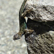 D7b6335 Western Fence Lizard, Male, Sonoma Mountain, Ca Art Print