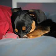 Dachshund Dog, Pug Dog, Good Time On Bed, Sleeping Art Print