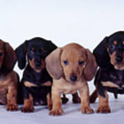 Dachshund Puppies  Art Print by Carolyn McKeone and Photo Researchers