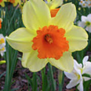 Daffodil 0796 Art Print