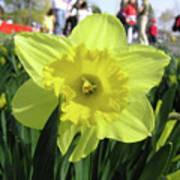 Daffodil Close Up Art Print by Richard Mitchell