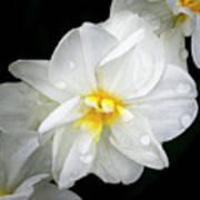 Daffodil Diagonal Art Print
