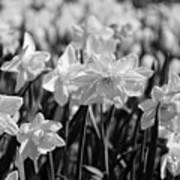 Daffodil Glow Monochrome By Kaye Menner Art Print