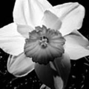 Daffodil In Springtime Art Print