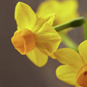 Daffodil Sunrise Art Print