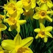 Daffodils 2010 Art Print