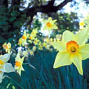 Daffodils And The Oak 2 Art Print
