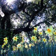 Daffodils And The Oak Art Print