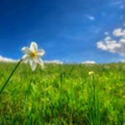 Daffodils Blossimg At Cavalla Plains 2017 Vi - Fioritura Dei Narcisi Al Pian Della Cavalla 2017 Art Print