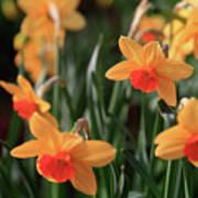 Daffodils Art Print by Tracy Hall