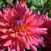 Dahlia Flowers Garden Art Prints Baslee Troutman Art Print