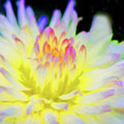 Dahlia In The Glow Art Print