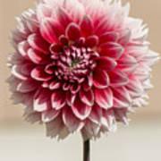 Dahlia- Pink And White Art Print