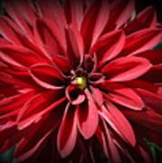 Dahlia Radiant In Red Art Print