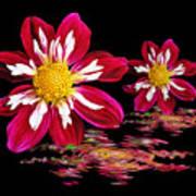 Dahlia Reflections Art Print