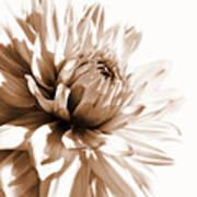 Dahlia Sepial Flower Art Print