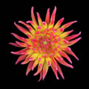 Dahlia Two Print by Christopher Gruver