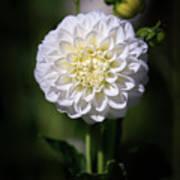 Dahlia White Flowers II Art Print