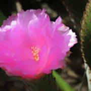 Dainty Pink Cactus Flower Art Print