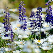 Daisies And Lupine Art Print