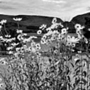 Daisies By The Roadside At Loch Linnhe B W Art Print